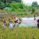 Panen Padi Lahan Demplot Program SERASI di Tanah Laut, Kalimantan Selatan